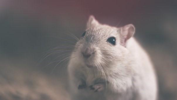 Les meilleures façons d'aider à se débarrasser des souris